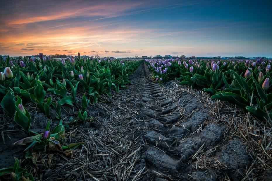 Tulip Tracks
